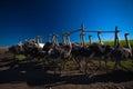 Ostrich Flock Birds