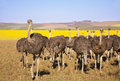 Ostrich flock of ostriches with yellow canola fields in background south africa Royalty Free Stock Photography