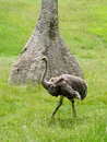 Ostrich in front of giant african ant hill a alert walks a a wildlife habitat Stock Photo