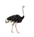 Ostrich full length isolated on white Stock Image