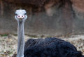 Ostrich funny stare Royalty Free Stock Photo