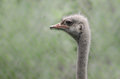 Ostrich a head of an with blurred background Royalty Free Stock Photography
