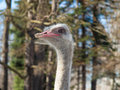 Ostrich head closeup on blurred background Stock Photos