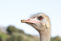 Ostrich head closeup in the outdoors Royalty Free Stock Images