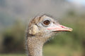 Ostrich head closeup in the outdoors Stock Photo