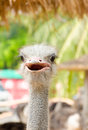 Ostrich head closeup in zoo Royalty Free Stock Images