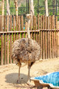 Ostrich, the largest flightless birds Royalty Free Stock Images