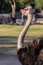 Ostrich Looking Straight Ahead Royalty Free Stock Photo