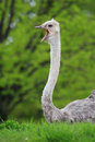 Ostrich the lovely is singing Stock Images
