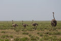 An ostrich mother and its childen walking Royalty Free Stock Photo