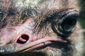 Ostrich nostril the or common is either one or two species of large flightless birds native to africa the only living member of Royalty Free Stock Photos