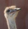 Ostrich portrait in skopje zoo Royalty Free Stock Photos