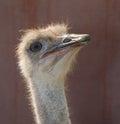 Ostrich Portrait Royalty Free Stock Photo