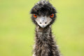 An Ostrich's Gaze Stock Images
