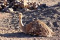 Ostrich sitting in the early morning sun Royalty Free Stock Photo