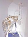Ostrich skeleton Struthio camelus