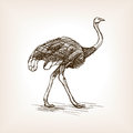 Ostrich sketch vector illustration Royalty Free Stock Photo
