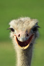 Ostrich Smile Royalty Free Stock Photo