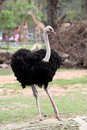 Ostrich standing in the zoo alone Royalty Free Stock Photography
