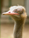 Ostrich standing in a zoo in Saigon Royalty Free Stock Photo