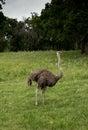 Ostrich is a tall flightless bird from africa Stock Photo