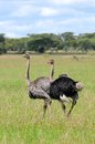 Ostrich in tanzania national park a couple of ostriches struthio camelus breeding ngorongoro conservation area Royalty Free Stock Photo