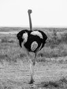 Ostrich walks away in black and white Stock Photography