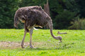 Ostrich in the wildlife park Royalty Free Stock Images