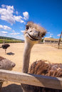 Ostrich zoo corral, looking up and smiling Royalty Free Stock Photo