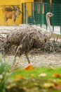 Ostrich in zoo a side view of an standing a Royalty Free Stock Image