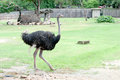 Ostrich in the zoo thai Stock Image