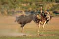 Ostriches displaying two struthio camelus with open wings kalahari desert south africa Royalty Free Stock Images