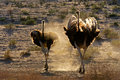 Ostriches in dust Royalty Free Stock Photo