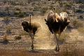 Ostriches in dust