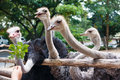 Ostriches eating leaf in zoo Royalty Free Stock Photo