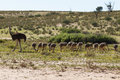 Ostriches a family of at kgalagadi national park south africa Royalty Free Stock Photo