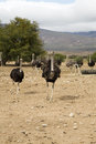 Ostriches a group of young on a farm Stock Photography