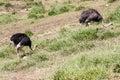 Ostriches itatiba zoo sao paulo brazil two feeding in Stock Image