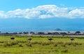 Ostriches kilimanjaro in amboseli national park kenya Stock Photos