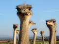 Ostriches looking into the camera close up funny quirky and cute flock of birds Stock Photography