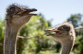 Ostriches looking meaningful two with open beaks Stock Photo
