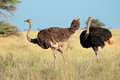 Ostriches in natural habitat Royalty Free Stock Photo