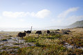 Ostriches by the sea wild at cape point national reserve cape town Stock Photos