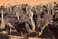 Ostriches struthio camelus on an ostrich farm karoo region western cape south africa Royalty Free Stock Photography