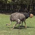 Ostriches walking and grazing in brijuni croatia Stock Photo