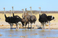 Ostriches at the waterhole Royalty Free Stock Photo
