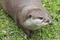 Otter Royalty Free Stock Photo