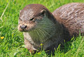 Otter Royalty Free Stock Photos