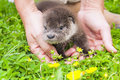 Otter baby orphaned eurasian lutra lutra in a wildlife rescue center Royalty Free Stock Photography