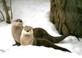 Otter canadian river sort lutra canadensis Royalty Free Stock Images